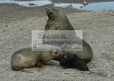 family fur seals arctocephalus gazella beach bird island south sandwich islands mammals mamalian marine life underwater diving antarctic wildlife mammal breeding antarctica polar united kingdom british