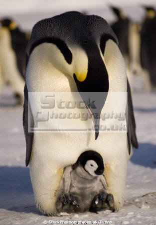 emperor penguin chick aptenodytes forsteri halley bay antarctica. penguins spheniscidae animals animalia natural history nature misc. bird antarctica polar united kingdom british