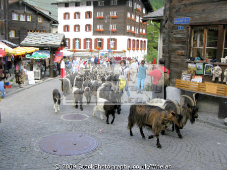 goats taken streets zermatt swiss suisse european travel alps switzerland schweiz europe