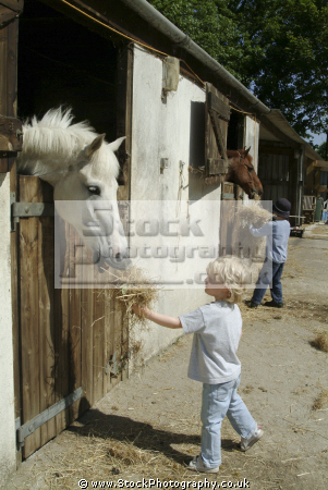 child feeding horse hay rural britain countryside rustic pastoral environmental ride learn cornwall cornish england english angleterre inghilterra inglaterra united kingdom british