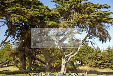 monterey cypress point lobos state park california. trees wooden natural history nature misc. california santa cruz highway pacific coast pch tree arborial woodland cupressus macrocarpa californian usa united states america american