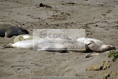 elephant seals san simeon beach california big sur. flippers marine life underwater diving mirounga ngustirostris abrillo ighway pacific coast pch californian usa united states america american