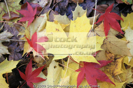 yellow maples red japanese trees wooden natural history nature misc. leaves countryside argyll bute argyllshire scotland scottish scotch scots escocia schottland great britain united kingdom british uk grande-bretagne grande bretagne grandebretagne großbritannien gran bretagna bretaña