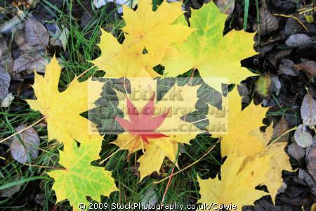 maples countryside rural environmental uk leaves autumn trees lanarkshire scotland scottish scotch scots escocia schottland great britain united kingdom british grande-bretagne grande bretagne grandebretagne großbritannien gran bretagna bretaña