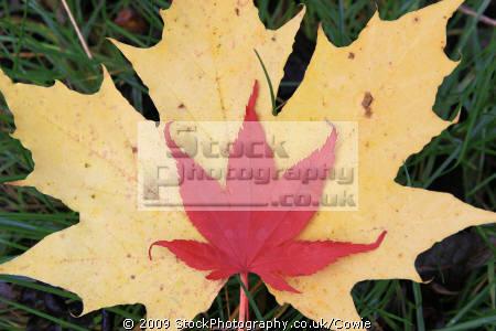 maples trees wooden natural history nature misc. countryside leaves lanarkshire scotland scottish scotch scots escocia schottland great britain united kingdom british uk grande-bretagne grande bretagne grandebretagne großbritannien gran bretagna bretaña