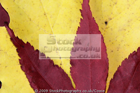 red yellow maples trees wooden natural history nature misc. leaves countryside lanarkshire scotland scottish scotch scots escocia schottland great britain united kingdom british uk grande-bretagne grande bretagne grandebretagne großbritannien gran bretagna bretaña