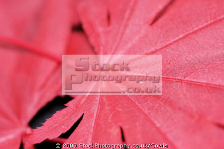 red maple trees wooden natural history nature misc. leaves countryside lanarkshire scotland scottish scotch scots escocia schottland great britain united kingdom british uk grande-bretagne grande bretagne grandebretagne großbritannien gran bretagna bretaña