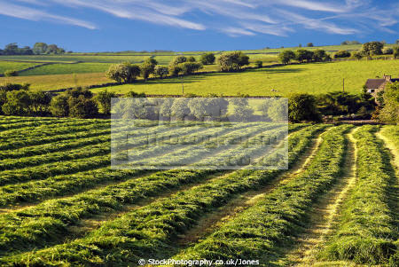 pleasant patterns field crops staffordshire moorlands uk rural britain countryside rustic pastoral environmental peak district calton arable farming staffs england english angleterre inghilterra inglaterra united kingdom british