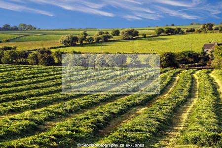 pleasant patterns field crops staffordshire moorlands uk rural britain countryside rustic pastoral environmental peak district calton arable farming staffs england english angleterre inghilterra inglaterra united kingdom british