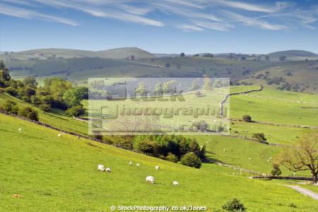 manifold valley english peak district. rural britain countryside rustic pastoral environmental throwley calton sheep lamb dry stone wall staffordshire derbyshire staffs england angleterre inghilterra inglaterra united kingdom british