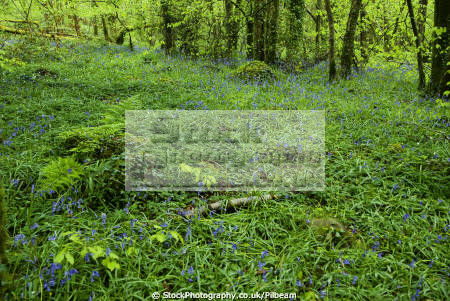 bluebells woodland trees countryside rural environmental wild flowers natural nature spring wales welsh país gales united kingdom british
