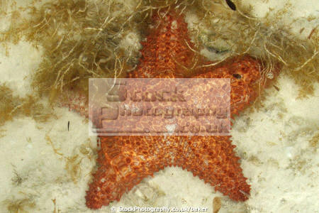 starfish asteroidea fish pisces marine life sea star atlantic pacific indian carribbean cuba caribbean cuban