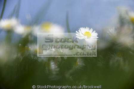 daisies growing grass blue sky behind. wild flowers weeds summer time pollen plants plantae natural history nature season petals high wycombe buckinghamshire bucks england english angleterre inghilterra inglaterra united kingdom british