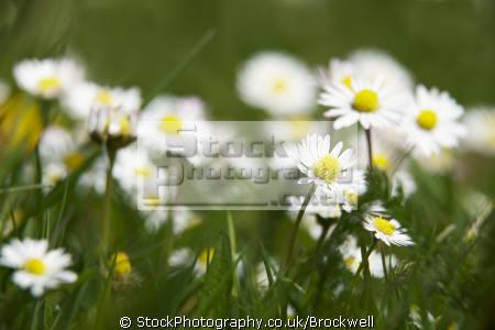 daisies growing grass. wild flowers weeds summer time pollen plants plantae natural history nature season grass petals high wycombe buckinghamshire bucks england english angleterre inghilterra inglaterra united kingdom british