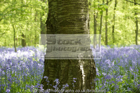 tree standing middle wood forest surrounded wild flowers bluebells season spring chilterns plants plantae natural history nature high wycombe buckinghamshire bucks england english angleterre inghilterra inglaterra united kingdom british
