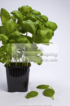 basil plant food nourishment nutrients abstracts herb growing pot leaves green fresh united kingdom british