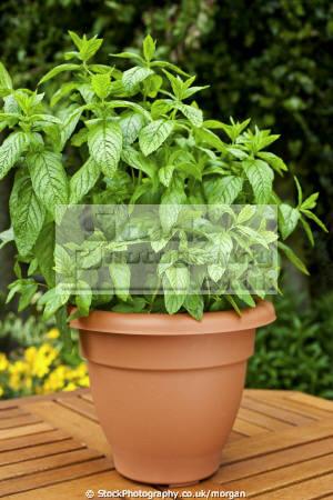 potted mint plant plants plantae natural history nature herb pot garden horticulture growing food uk united kingdom british