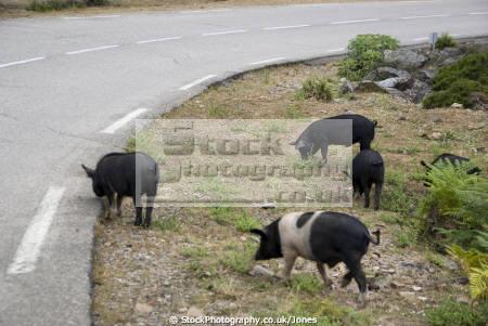 corsica wild pigs roadside animals animalia natural history nature couchon sauvage bacon pork corse france la francia frankreich french