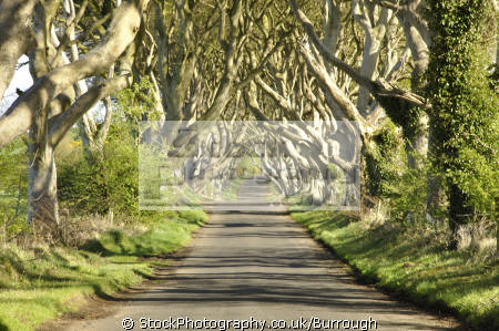 dark arches trees forming living arch rural lane near ballymoney county antrim tortoise testudinidae animals animalia natural history nature intertwined branches. aontroim northern ireland ulster irish irland irlanda united kingdom british