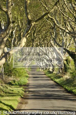 dark arches trees forming aliving arch rural lane nera ballymoney county antrim wooden natural history nature interwtined brances avenue aontroim northern ireland ulster irish irland irlanda united kingdom british