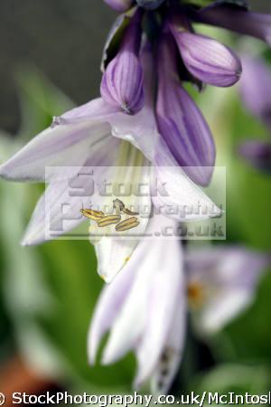 macro shot hosta. purple closed buds plus open lilac petals. minute shot. named austrian botanist nicholas thomas host. known hostaceae flowers plants plantae natural history nature glasgow central scotland scottish scotch scots escocia schottland united kingdom british