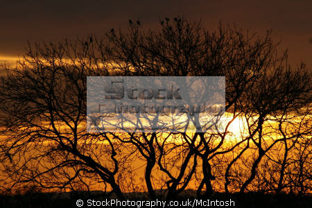 sillhouette tree birds sunset background. milngavie scotland sunsets sky natural history nature orange yellow glasgow central scottish scotch scots escocia schottland united kingdom british