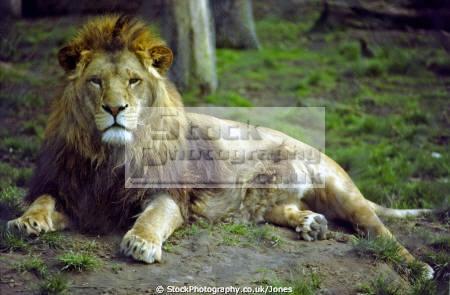 lion panthera leo chester zoo uk cats felidae animals animalia natural history nature cat feline king jungle cestrian cheshire england english angleterre inghilterra inglaterra united kingdom british