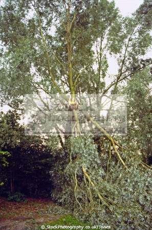 tree damaged storm. utrecht holland. trees wooden natural history nature branches twigs leaves boughs hurricane thunder lightning wind weather meteorology holland la hollande holanda olanda netherlands dutch
