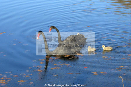 black swans cygnets lake hyde park perth birds aves animals animalia natural history nature australia australian