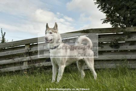 siberian husky dog fence dogs canidae canine animals animalia natural history nature standing isle man manx england english angleterre inghilterra inglaterra united kingdom british