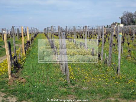 vineyards saint milion region france french ch teaus european emilion aquitaine gironde viticulture viniculture vineyard grapevine winemaking bordeaux claret grapes vignoble cabernet sauvignon franc merlot la francia frankreich
