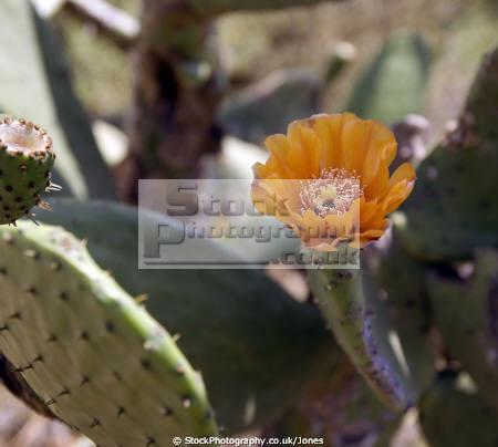 spain prickly pear cactus opuntia flower flowers plants plantae natural history nature rosas catalonia catalunya espagne espa spanish cactii costa brava spanien la spagna