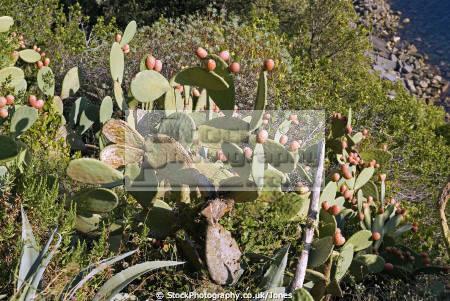 italy cinque terre prickly pears sentiero azzurro corniglia vernazza plants plantae natural history nature italia italian riviera liguria mediterranean rambling hiking walkers lands cactii cactus italien italie