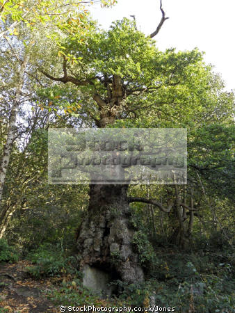 old oak tree chatsworth house estate trees wooden natural history nature derbyshire peak district national park np countryside valley hall england english angleterre inghilterra inglaterra united kingdom british