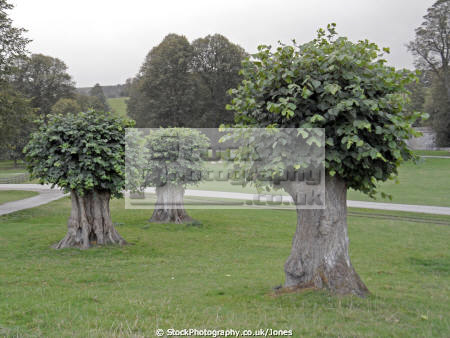 chatsworth house pollarded lime trees wooden natural history nature derbyshire peak district national park np countryside valley hall england english angleterre inghilterra inglaterra united kingdom british