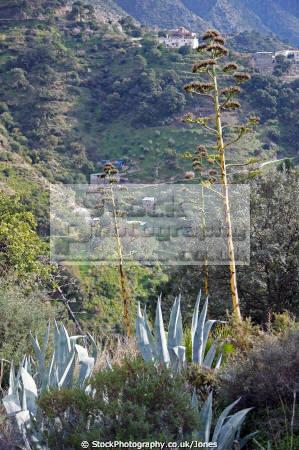 american aloe agave americana growing hills near estepona spain plants plantae natural history nature spanish espagna andalusia laga malaga plant botany flora angiosperms century costa del sol spanien espa espagne la spagna