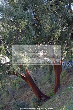 cork oaks spain trees wooden natural history nature spanish espagna andalusia estepona laga malaga costa del sol mediterranean quercus suber spanien espa espagne la spagna