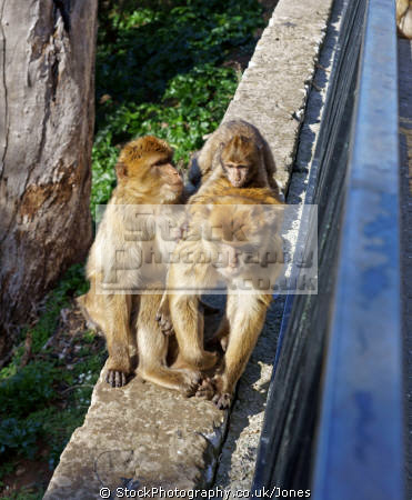 gibraltar barbary macaque mother child monkeys primates animals animalia natural history nature spain spanish espagna andalusia costa del sol uk united kingdom britain british pillars hercules heracles rock mediterranean ape monkey primate macacas sylvanus upper gibraltarian