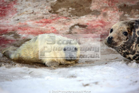 newly born wild grey seal pup lying snow birth blood mother close taken donna nook nature reserve north somercotes lincolnshire seals flippers marine life young baby wildlife winter coast coastal uk england cold birthing afterbirth lincs english angleterre inghilterra inglaterra united kingdom british