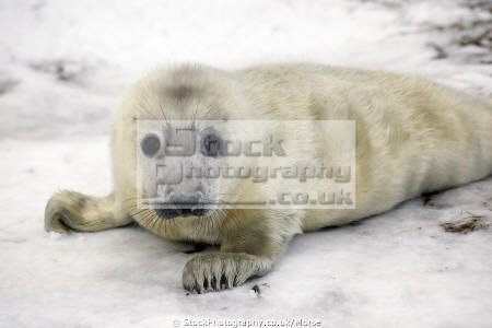 portrait white young wild grey seal pup lying snow looking camera taken donna nook nature reserve north somercotes lincolnshire seals flippers marine life baby wildlife winter coast coastal uk england cold lincs english angleterre inghilterra inglaterra united kingdom british