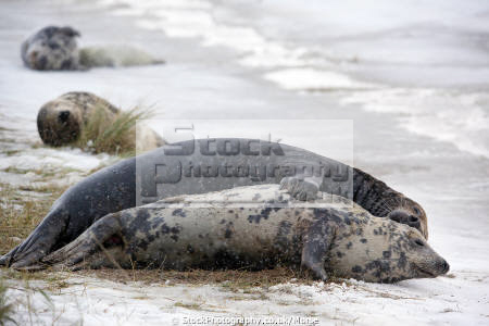 pair wild grey seals lying together snow mating taken donna nook nature reserve north somercotes lincolnshire flippers marine life wildlife winter mammal coast snowing coastal uk england cold mate mated lincs english angleterre inghilterra inglaterra united kingdom british