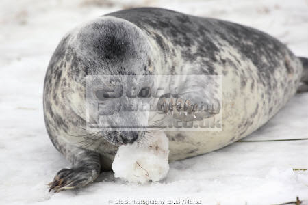 young wild grey seal lying snow playing snowball taken donna nook nature reserve north somercotes lincolnshire seals flippers marine life wildlife winter fun youngster amusement extraordinary mammal coast coastal uk england cold play game lincs english angleterre inghilterra inglaterra united kingdom british