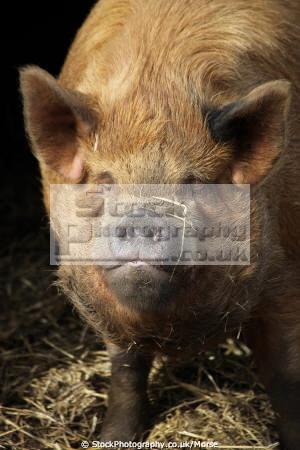 close rare breeds pig looking straight camera farmyard animals animalia natural history nature farm animal bird livestock breed pork sow pigs piggery