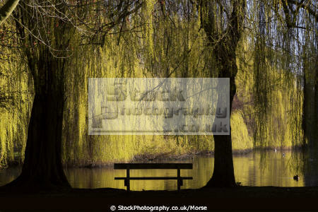 early morning view lake colchester castle park weeping willows bench silhouetted yellow uk parks gardens environmental water trees nature natural seating ducks birds essex england english angleterre inghilterra inglaterra united kingdom british