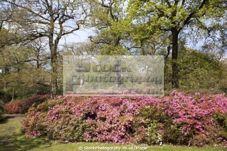 isabella plantation richmond park london england showing trees shrubs bushes mass red pink flowering azaleas parks capital english azalea uk rhododendron flowers spring cockney angleterre inghilterra inglaterra united kingdom british