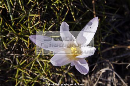 pretty alpine flower spotted mountain los reales southern spain plants plantae natural history nature spanish espagna andalusia estepona laga malaga costa del sol plant floral spanien espa espagne la spagna