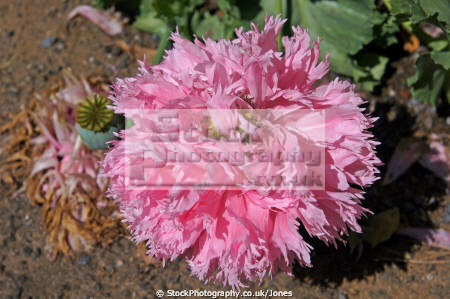 poppy forncett summer flower flowers plants plantae natural history nature floral wild bloom blooming oriental papaver orientale papaveraceae salmon pink poitou charentes france la francia frankreich french