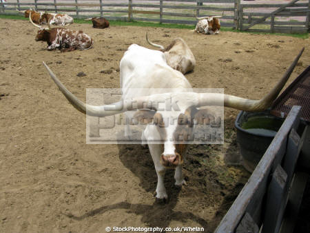 texas longhorn cattle stockyards area fort worth animals animalia natural history nature united states american