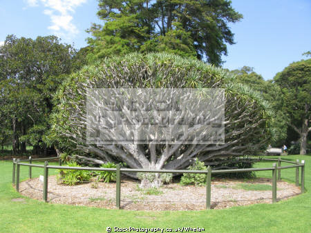 tree sydney botanic gardens trees wooden natural history nature australia australian