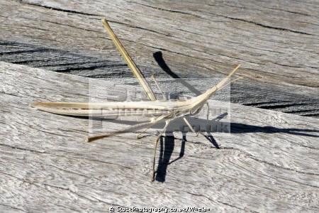 stick insect western australia australian